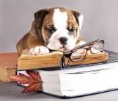 12803645-bulldog-ingles-y-el-libro-y-las-gafas